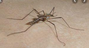 Labo p4 moustique